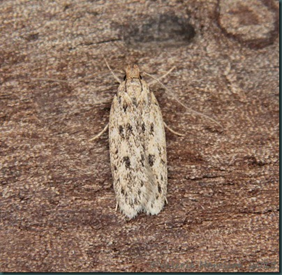 brown-house-moth