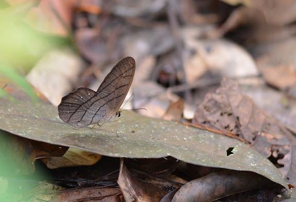 Pierella lamia chalybaea GODMAN et SALVIN, 1905, mâle. Camp Caïman, Montagne de Kaw (Guyane). 13 novembre 2011. Photo : M. Belloin