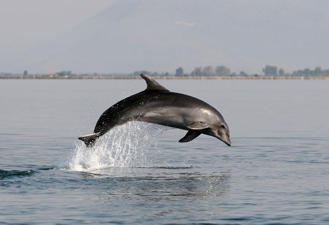 Βοηθήστε να καταγραφούν τα δελφίνια του Ιονίου