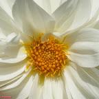 angkorsite_flower_1 (104).jpg