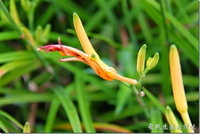 台中頭社-金針花田。這是前一天開過的花苞,後面及旁邊稍微黃黃的,應該是明天要綻放的花苞。