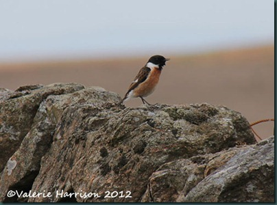 58-stonechat-and-emperor