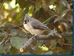 wildbirds unlimited photo titmice