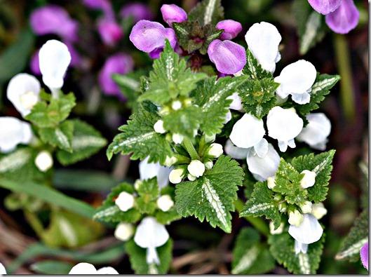 lamium rosaog hvit