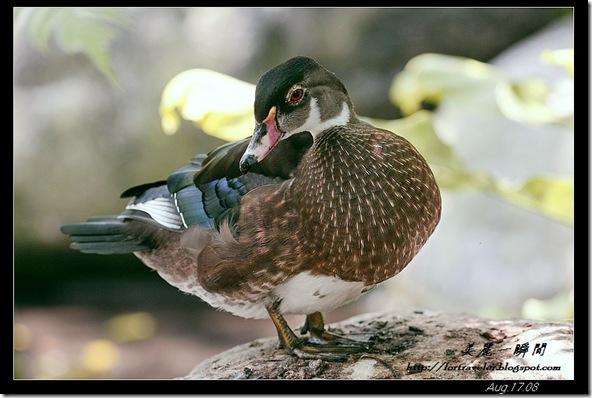 美洲木鴨(2008-08-17兆豐農場)6311