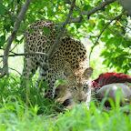Leopard beim Fressen © Foto: Bruce Taylor | Sunway Safaris
