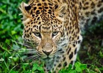 Amazing Pictures of Animals, Photo, Nature, Incredibel, Funny, Zoo, Leopard,Panthera pardus, Mammals, Carnivora, Alex (1)