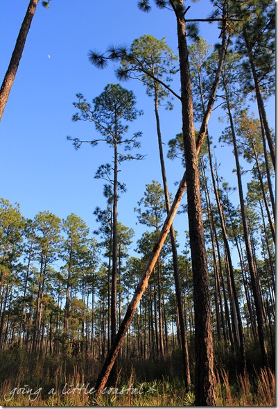 pine trees_edited-1