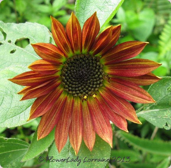 06-04-sunflower