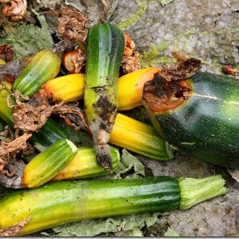 How I cured blossom end rot in my squash