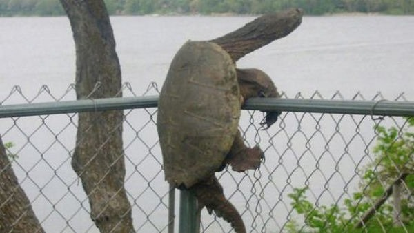 Animais presos em lugares estranhos 5