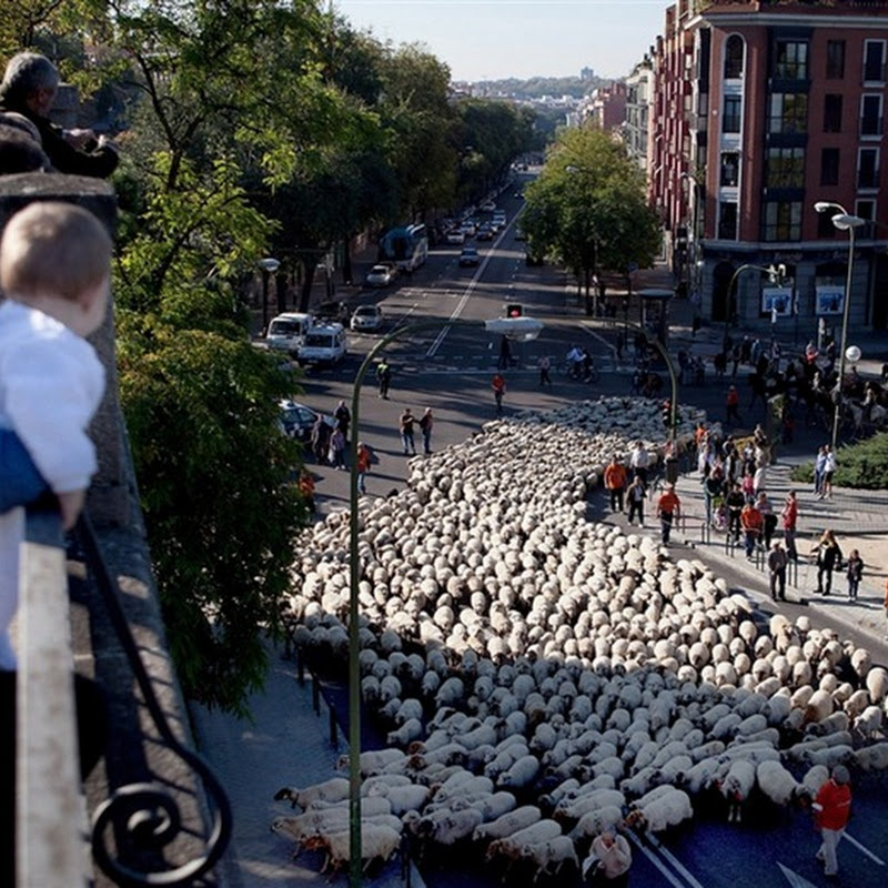 Sheep Occupy Madrid Street to Protest Grazing Laws