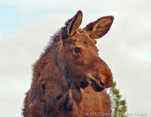 Turnbull NWR Moose Close-up