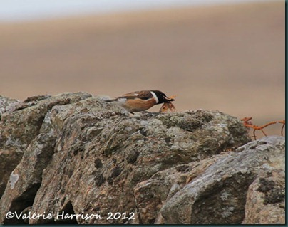 56-stonechat-and-emperor