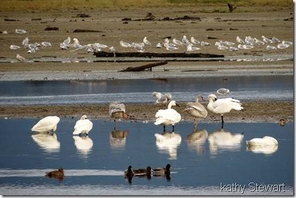 Gulls, Mallard, & Tundra Swans