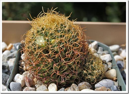 110510_Mammillaria-camptotricha-marnier-lapostollei_01