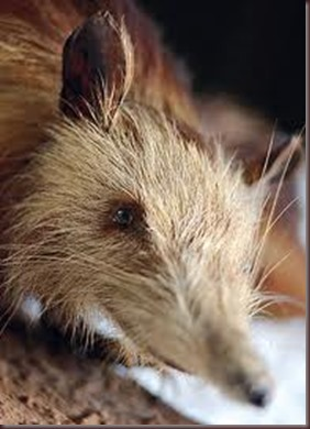 Amazing Pictures of Animals, photo, Nature exotic, funny, incredibel, Zoo, Solenodon, Mammalia, Alex (12)