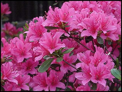 azalea2