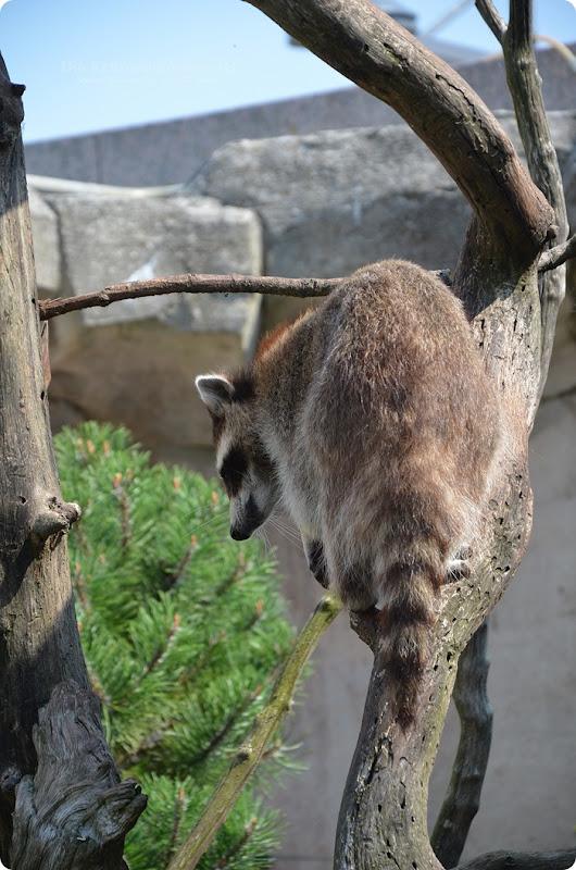 Wremen 29.07.14 Zoo am Meer Bremerhaven 58 Waschbären