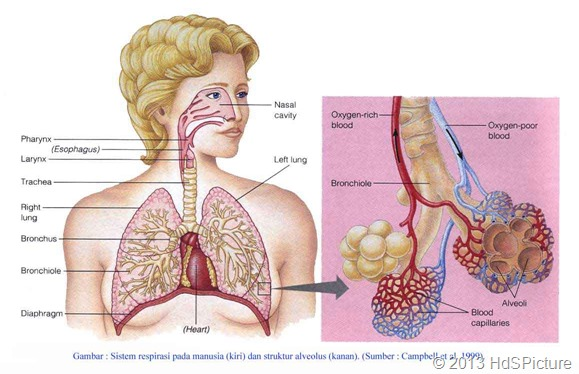 8 Organ Pernapasan Pada Manusia