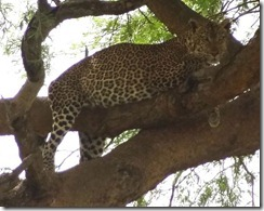 A leopard seen at Queen Elizabeth National Park