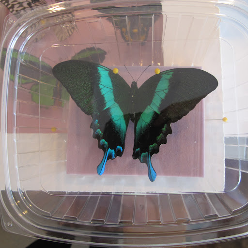 These real preserved butterflies came all the way from Spencer, Ohio!
