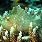 Blatt-Fisch, Komodo