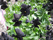 Viola Black Magic