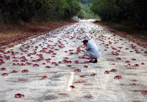 Annual Red Crab Migration on Christmas Island | Amusing Planet