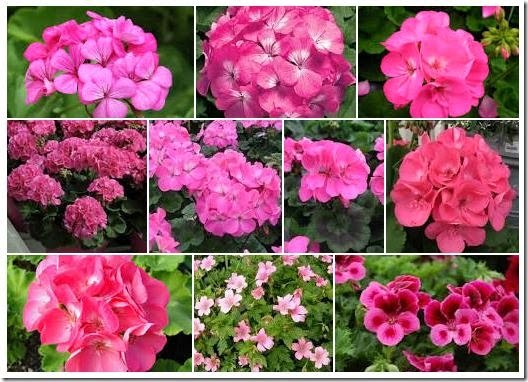 pinkgeraniums
