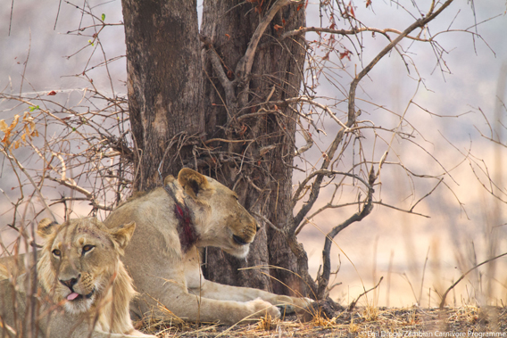 Lion with a poacher's snare around its neck. Egil Droge / Zambian Carnivore Program via Panthera and Mongabay