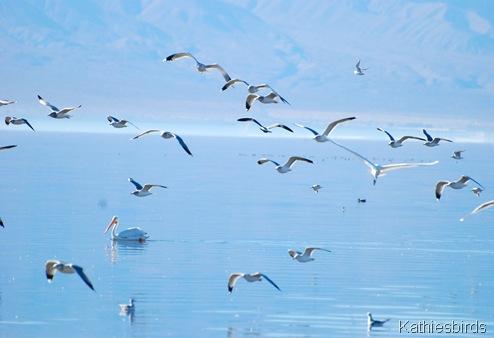 3. gulls-kab