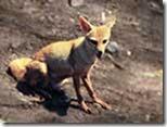 Fox-Wolf-Jackal-Hyena