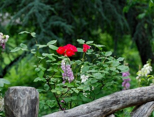 DSC_0247 rose fence-kab