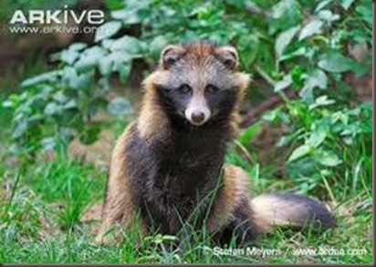 Amazing Animal Pictures Racoon Dog (1)