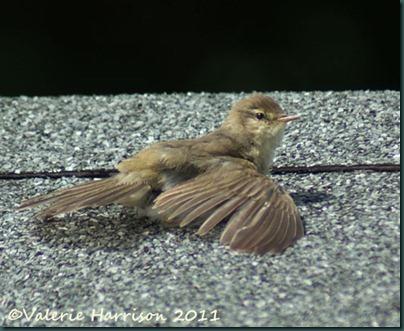 34 sunbathing-warbler