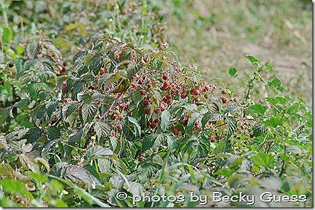10-05-11 raspberry farm near Mora NM 04