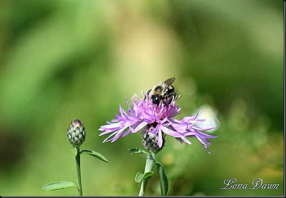 CF_Centurea_Bee