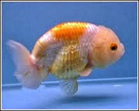 Amazing Pictures of Animals, Photo, Nature, Incredibel, Funny, Zoo, Ranchu, Goldfish, Alex (5)