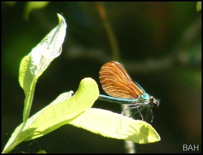 DSCF2338 Damsonfly