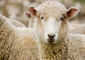 Amazing Pictures of Animals, Photo, Nature, Incredibel, Funny, Zoo, Mammals, Merino, Sheep, Alex (16)