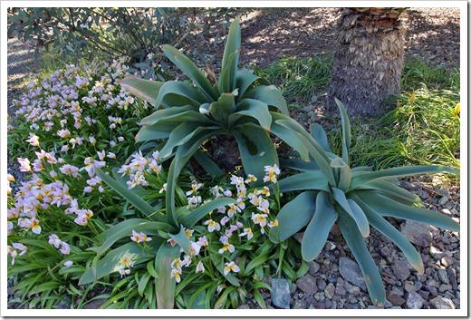 120414_RBG_Tulipa-saxatilis- -Brunsvigia-josephinae_05