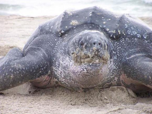 close-up-of-dermochelys-coriacea-leatherback-turtle_w725_h544.img_assist_custom-600x450