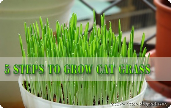 How-to-plant-cat-grass