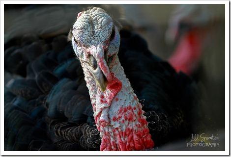 turkey-5568