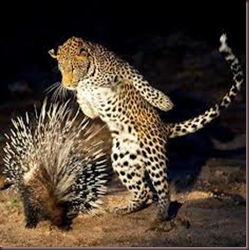 Amazing Pictures of Animals Porcupine (2)