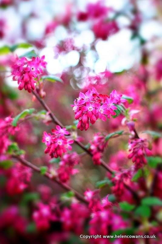 1 red shrub