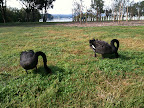 Apr 3 - Black swans grazing