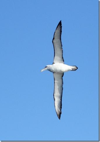 shy_albatross3