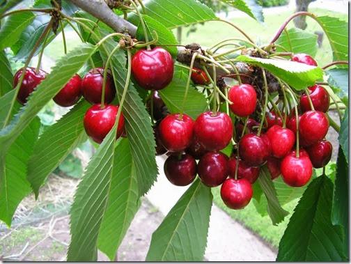CherryLapins